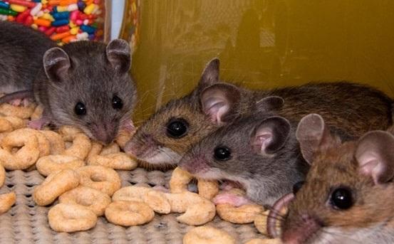 rodent rats control